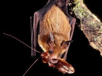 Pipistrelli contro la zanzara tigre «Segnalate la loro presenza» - Cronaca - L'Eco di Bergamo - Notizie di Bergamo e provincia